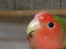 Lovebird_773_3.jpg