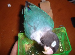 Lovebird_788_1.jpg
