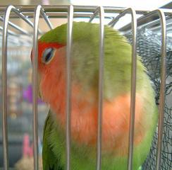 Lovebird_793_3a.JPG