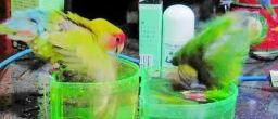 Lovebird_807_1.jpg