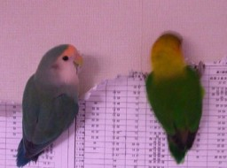 Lovebird_810_2.jpg