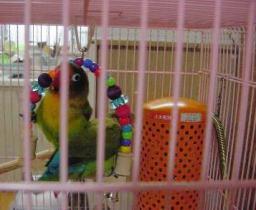 Lovebird_813_5.jpg