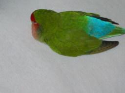 Lovebird_814_1.jpg
