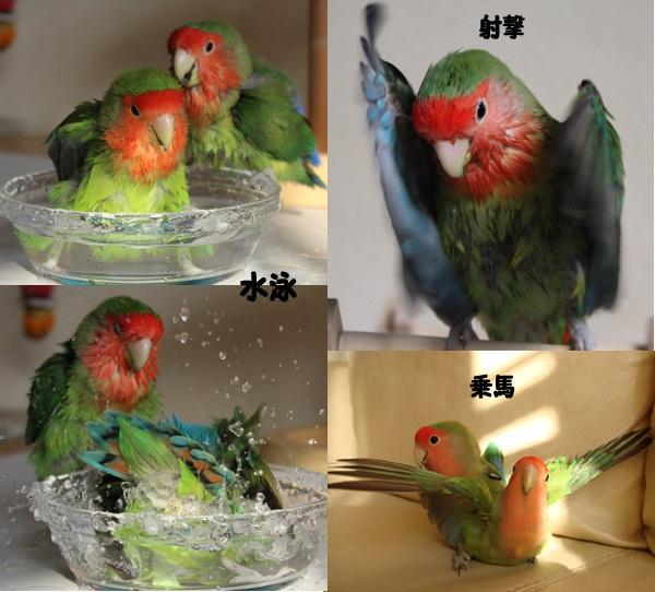 鳥のおりんぴっくペア3.jpg