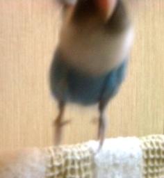Lovebird_791_1.jpg