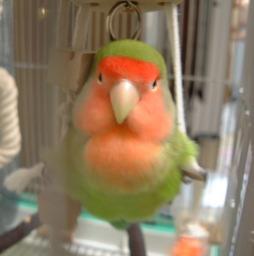 Lovebird_793_1.jpg