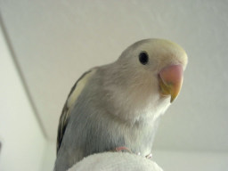 Lovebird_799_1.jpg
