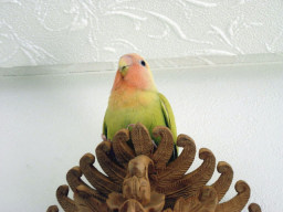 Lovebird_799_6.jpg