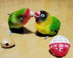 Lovebird_807_3.jpg
