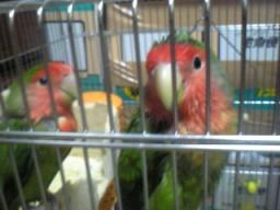 Lovebird_809_1.jpg