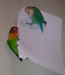 Lovebird_810_3.jpg